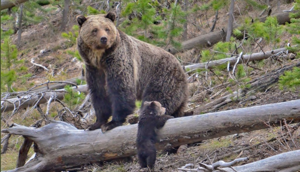 Comment period on North Cascades grizzly bear recovery EIS reopened through October 24, 2019